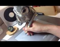 "Owl ""helps"" owner draw on his tablet"