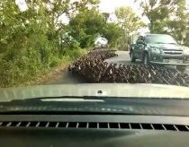 Thousands of ducks flood a street in Thailand