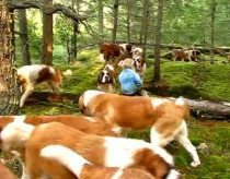 Out for a walk with 42 Saint Bernards