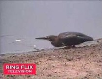 Bird uses Bread To catch fish