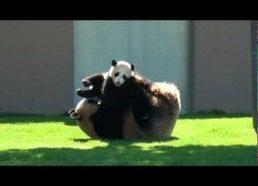 Panda žaidžia su savo jaunikliu
