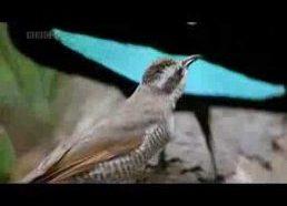 Keistas tropikų paukštis
