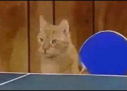 Katės žaidžia stalo tenisą - PingPong katės