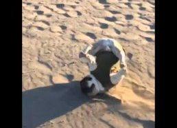 Prancūzų buldogo fail paplūdimyje