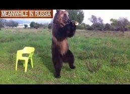 Dresuotas lokys - Rusija