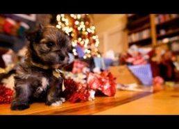 Šuniukų Kalėdos ir išpakuojamos dovanos