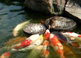 Ančiukas maitina Koi žuvis