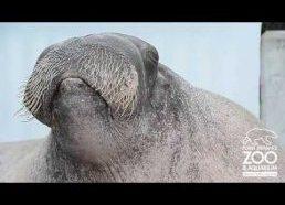 Walrus practices his vocalizations at Point Defiance Zoo & Aquarium
