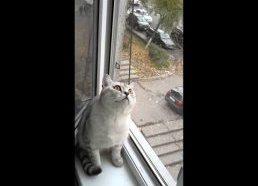 Katinas net nemirkteli kol seka paukštį