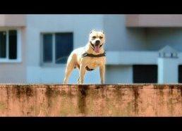 Šuo Akrobatas kaskadininkas (parkour) - tretas