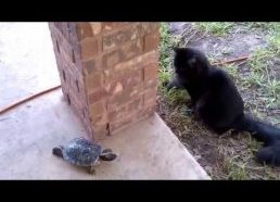 Cat and turtle chasing each other