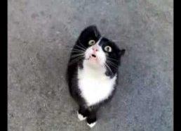Demoniškas katino balsas