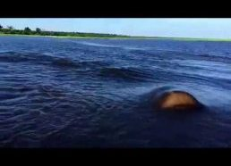 Hippo Charge on Chobe River