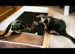 Cat pushes another cat down the stairs very very funny