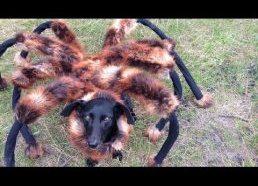 Didžiulis mutantas voras (šuo su voro kostiumu)