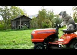 Labai geras šuo pjauna žolę
