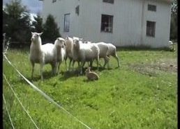 Sheep Herding Rabbit