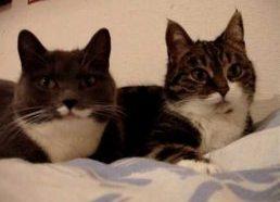 Dvi murkiančios(kalbančios) katės