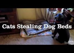 Cats Stealing Dog Beds Compilation