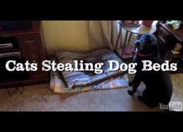 Katės užima šunų lovas - vaizdelių rinkinys