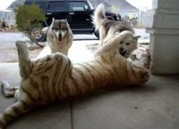 Tiger vs Dog Pack