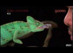 Chameleon Vs Sumo. Super Slow motion