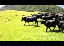 Cows chasing a RC car around a field
