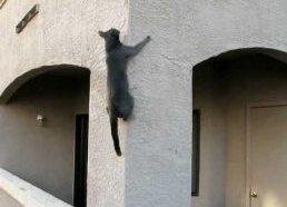 Katinas Voras - lengvai užlipa betonine siena