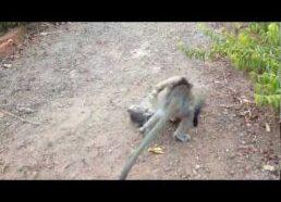 Jauno Kačiuko ir Mažo Beždžioniuko žaidimai