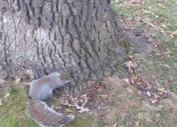 Apgirtusi voverė nuo surūgusių melionų