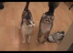 Kačiukai ir Katės Miaukia