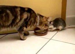 Pieno Vagis (Žiurkė atiminėja pieną iš Katės)