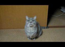 Unusual Begging Cat Cute