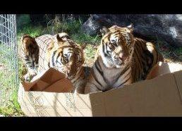 Didelės katės mėgsta dėžes taip pat