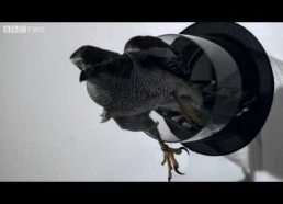 Goshawk Flies Through Tiny Spaces in Slo-Mo!
