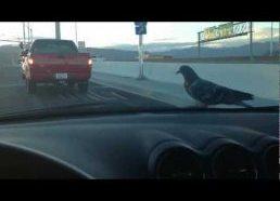 Bird Surfin on Car