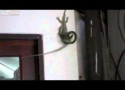 Driežas išgelbsti savo draugą nuo gyvatės