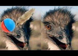 Stručiai baidosi žaislinio kamuoliuko (dar žinomo kaip weasel ball)