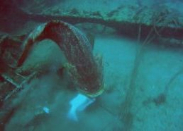 Spear Fisherman Dragged by Goliath Grouper
