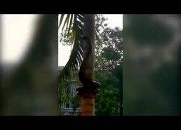 How a Python crawls on the tree