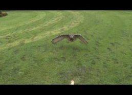Pelėdos skrydis nufilmuotas sulėtintai (1000 kadrų per sekundę)