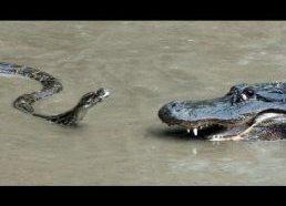 Pitonas prieš Aligatorių - Tikra kova - Pitonas atakuoja Aligatorių