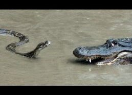 Python vs Alligator 01 -- Real Fight -- Python attacks Alligator