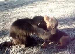 Mali monkey playing with a dachshund puppy