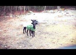 Kas bliauna, o kas rėkia - rėkenčios avys