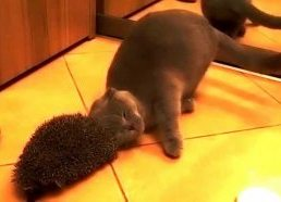 Cat uses the hedgehog for а brush