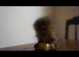 Mažiausia pasaulio beždžionėlė valgo makaroną