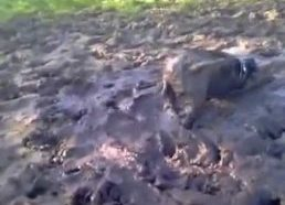 Šuo mėgsta maudynes purve