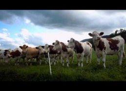 Pasirodo karvės labai mėgsta ir džiazą