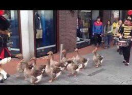 Žygiuoja Žąsys - žąsų maršas - Olandija